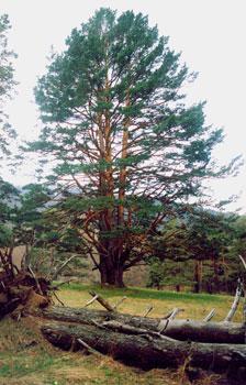 Трехсвольная сосна на Монастырской (Гавриельской) поляне